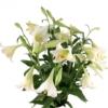 Lilien Weiß im Bund - Premium Longiflorum