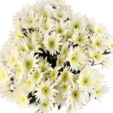 10 weiße Feder-Chrsysanthemen